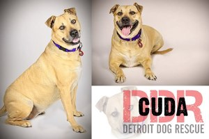 Cuda - Detroit Dog Rescue