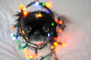 42694-Cute-Dog-Wrapped-In-Christmas-Lights