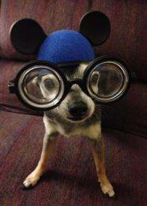 13 year old Chihuahua Mele shows that old dogs can still have fun! Here she is showing her #Disneyside