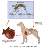 heartworm_disease-1