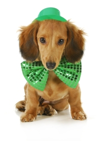 St. Patricks Day dog - long haired dachshund wearing green hat a