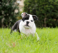 Bulldog puppy. A beautiful black and white bulldog puppy plays,