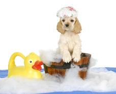 puppy bath time - american cocker spaniel puppy having a bath -